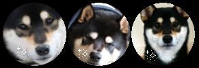black and tan sheeb divider by dogku