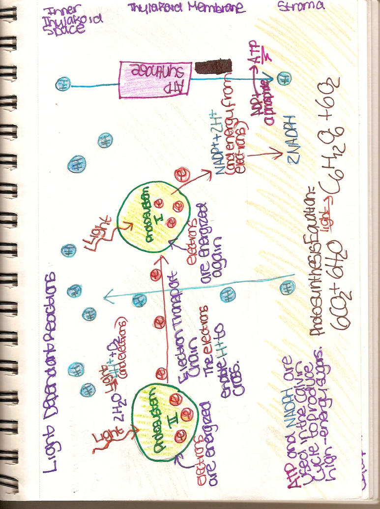 Light dependent reaction diagram by nirvanamanic on deviantart light dependent reaction diagram by nirvanamanic pooptronica Choice Image