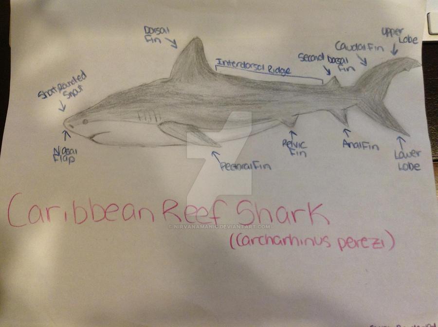 Caribbean Reef Shark Diagram by Nirvanamanic on DeviantArt