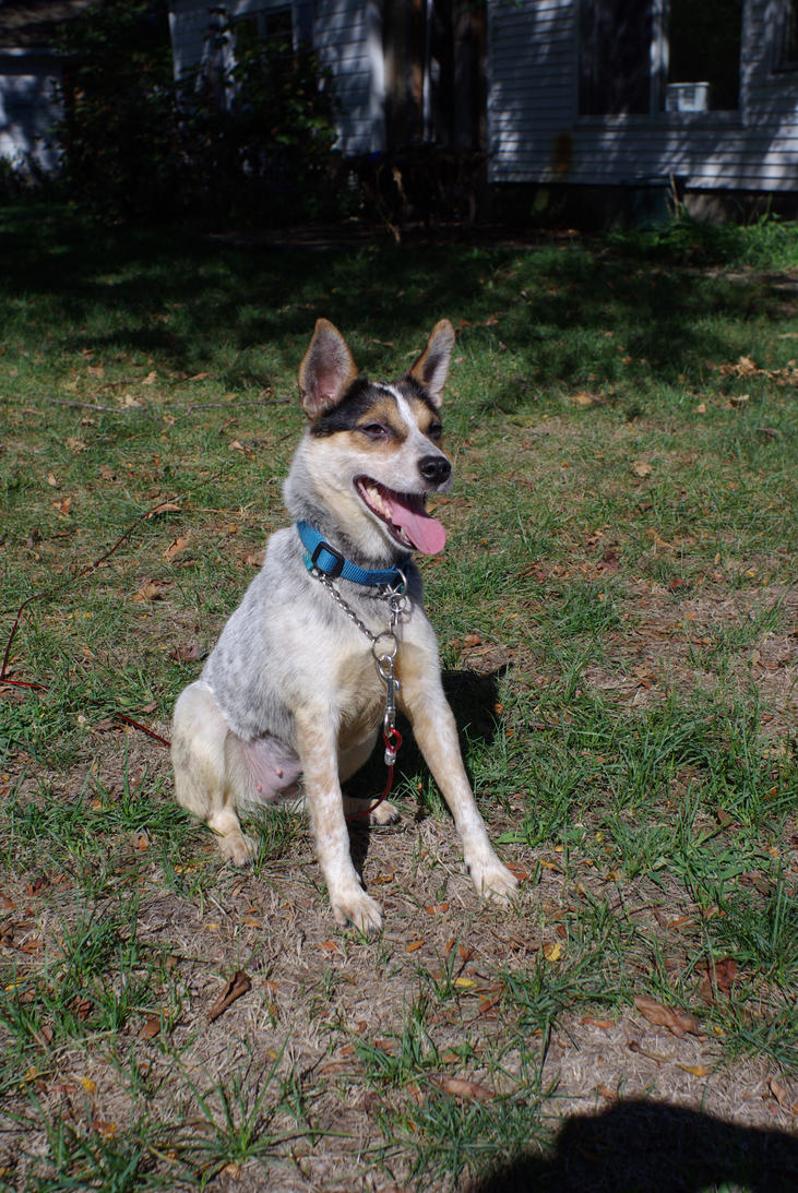 cattle Dog Stock 02 by Astralsteed