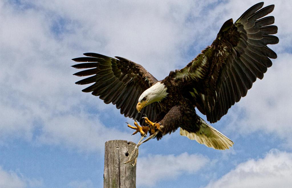 Bald Eagle Landing 2 by GreyVolk on DeviantArt