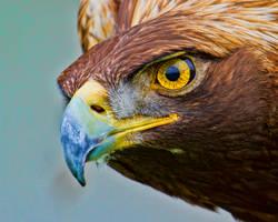Golden Eagle by GreyVolk