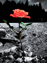Red rose by RasmusLuostarinenArt