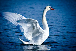 The Swan by RasmusLuostarinenArt