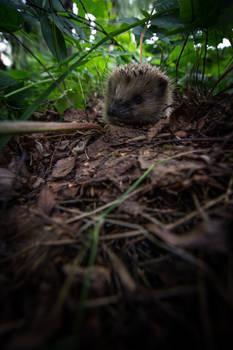 The Life as Hedgehogs