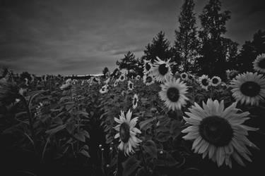 Sunflowers by RasmusLuostarinenArt