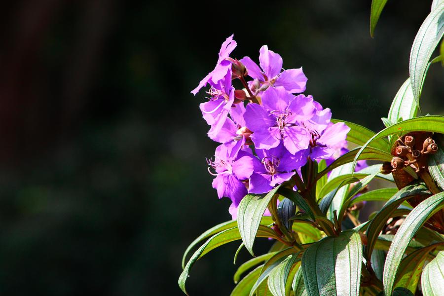 Purple Flowers by MelaneLagoPhoto