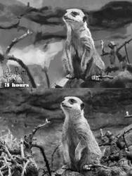 Compare the Meerkat by Tygenja