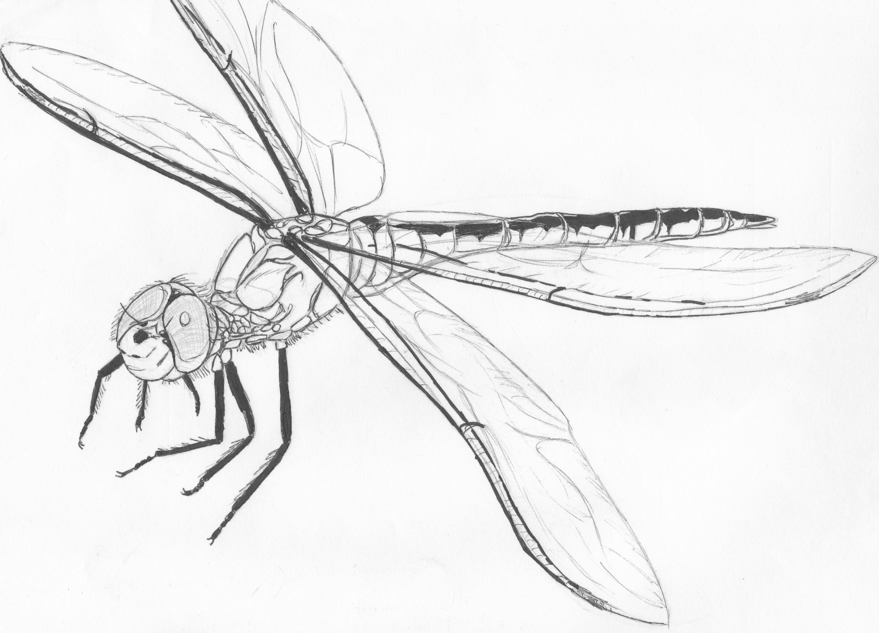 Dragonfly Tattoo Line Drawing : Http fc viantart fs f b e dragonfly