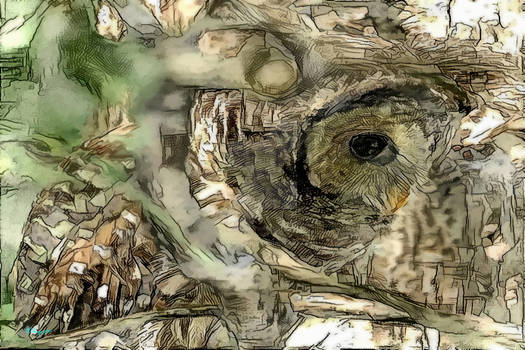 132 Barred Owl