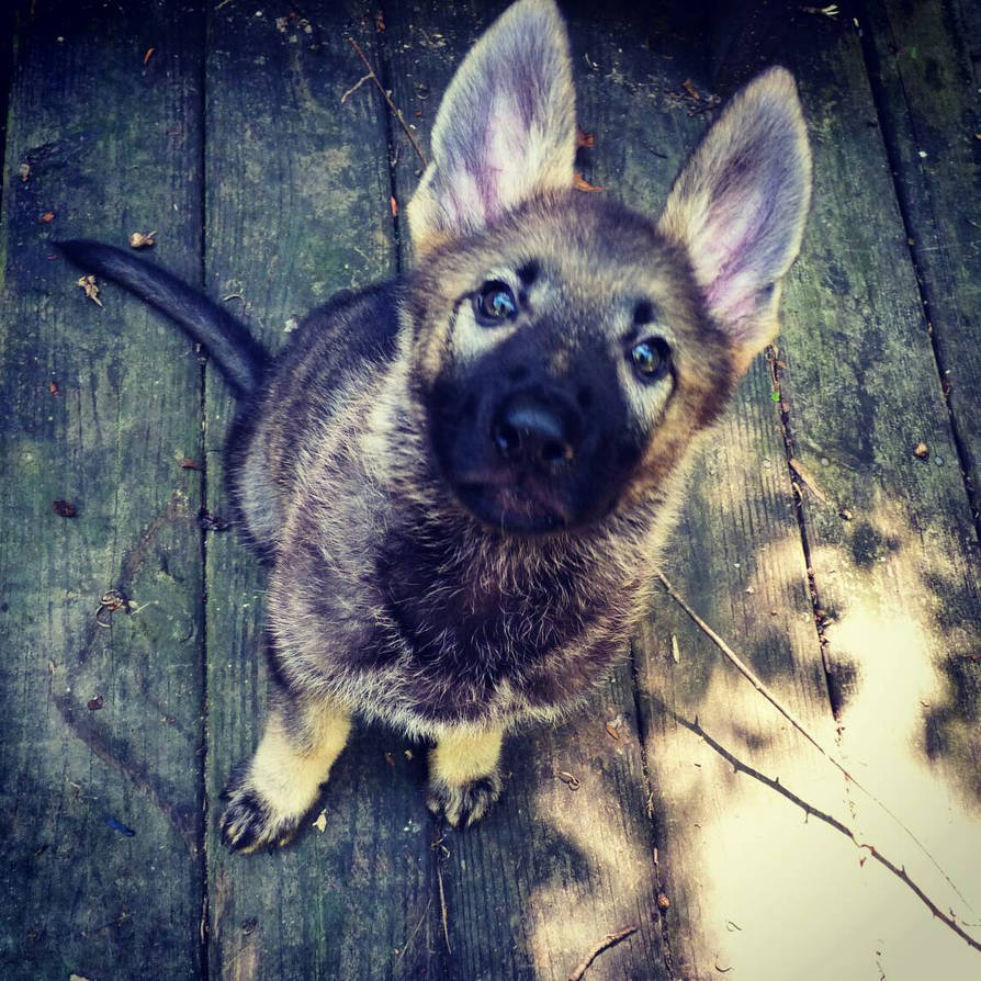 Lyra My Sable German Shepherd Puppy By Fenzuki On Deviantart