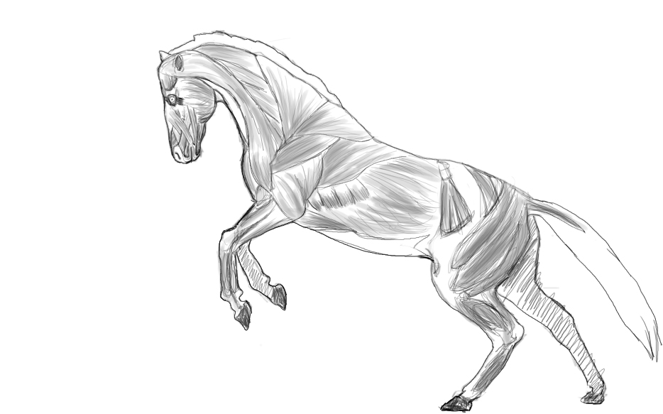 Horse Muscle Anatomy Quick Study by Poisoned-Paint on DeviantArt