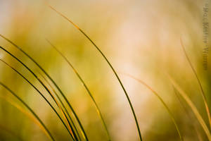 Beach Grass 3 by MaxK-W