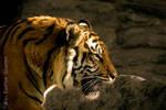 Sumatran Tiger by MaxK-W