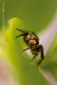 Jumpy Spider