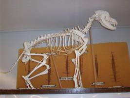 Dog skeleton by pandora1921