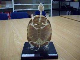 Turtle 2 by pandora1921