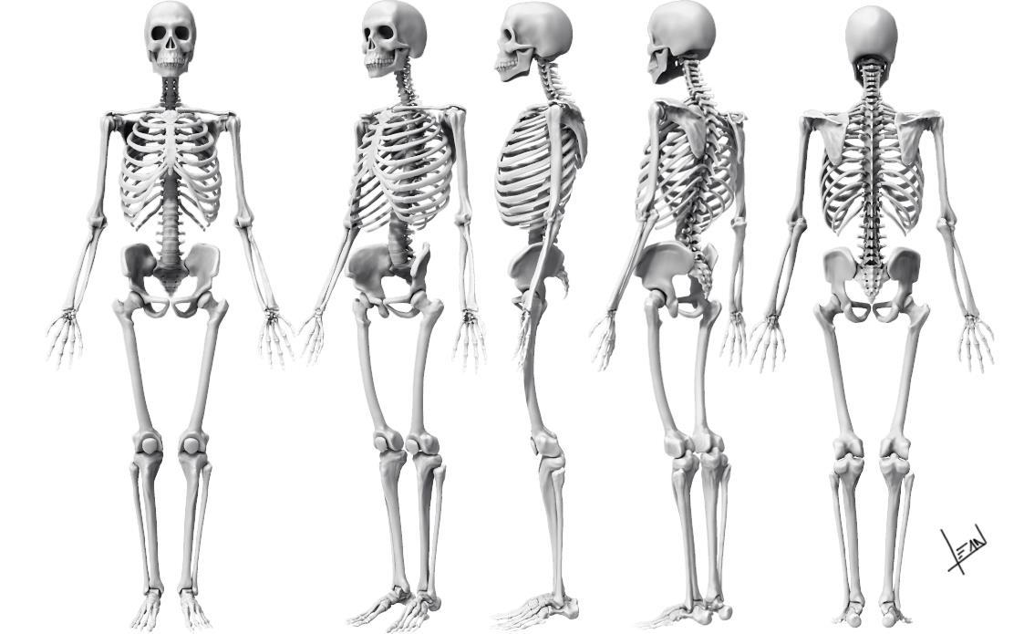 copy of skeletal system bones - lessons - tes teach, Skeleton