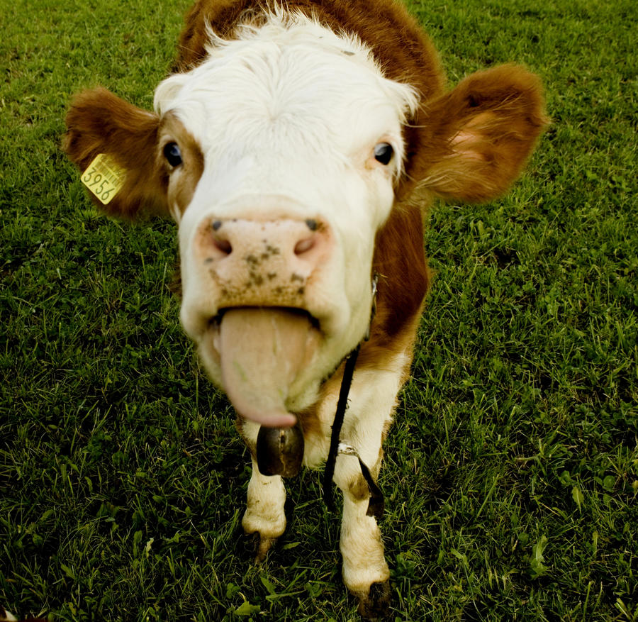 related pictures cute cows -#main