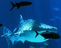 Whale Shark by phantaz