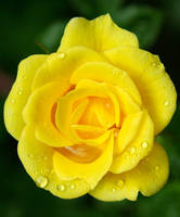 Yellow Rose by Batbreath