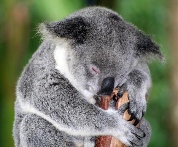 Koala by Batbreath