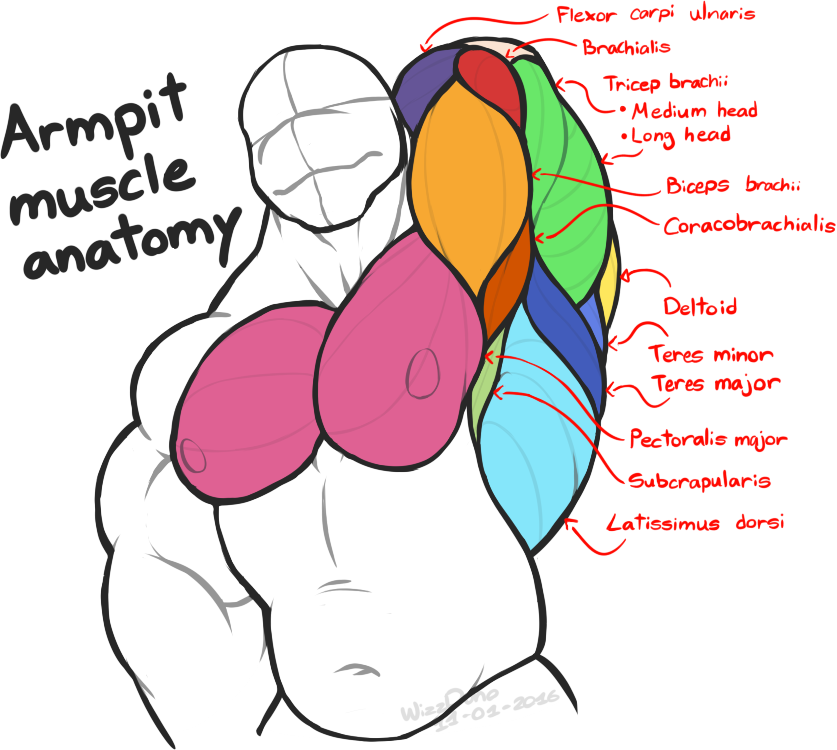 Armpit muscle anatomy by WizzDono on DeviantArt