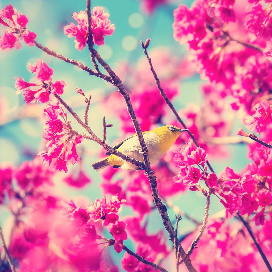 Cherry Blossom Wallpaper By XLiberiaX