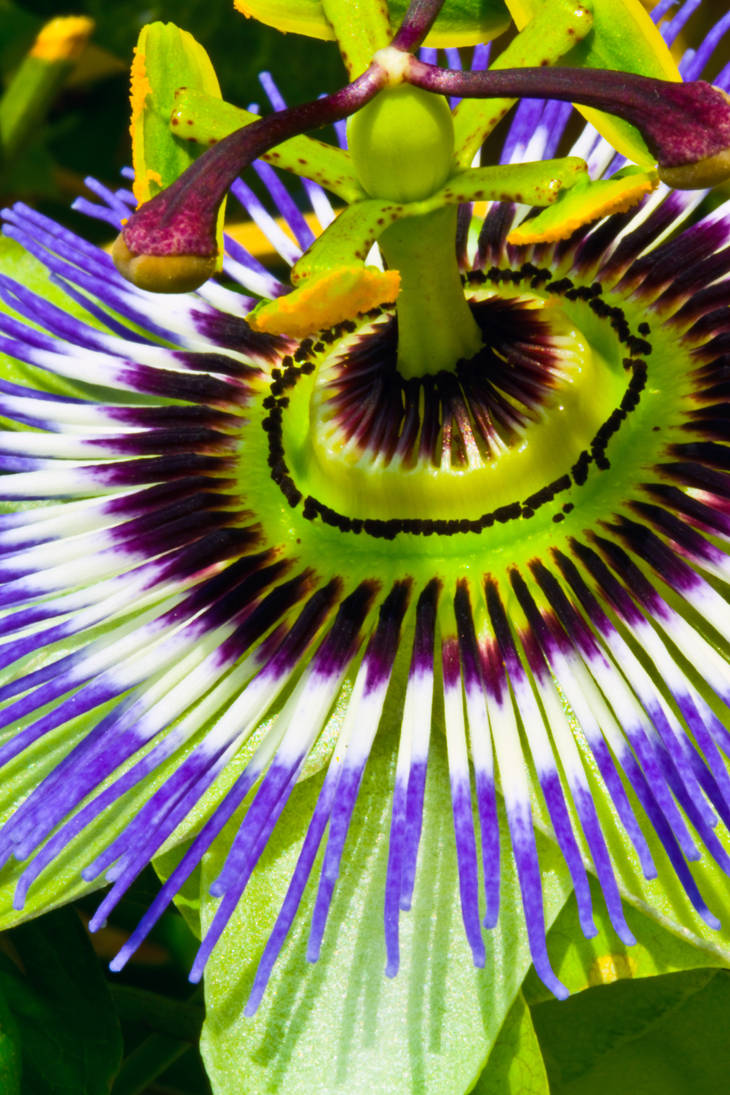 Passion flower 2 by haakenson-stock