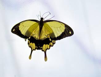 Butterfly 01 by haakenson-stock