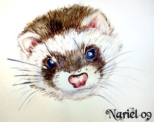 Ferret water.color