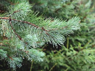 Simmer Pine