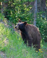 Baby Bear 2 by FallGirl