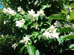 Jasmine Flowers - June 2016