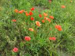 Poppies Bloom
