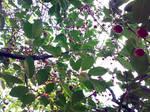 Cherry Tree and Cherries