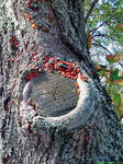 Old Linden Tree With Red Bugs