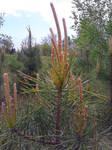 Pine 'Flowers'