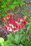 Three old but alive tulips