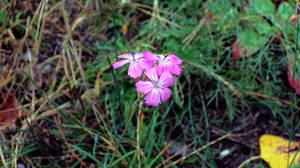 Triple Headed Wild Carnation in October