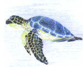 Sea Turtle by Ermelyn