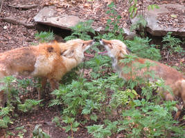 Battle of the Big Mouth Foxes
