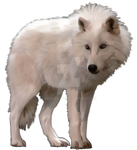 White Artic Wolf