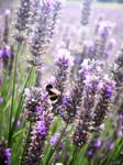 Lavender Fields 4Ever .x.