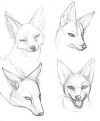 Jackal-y head studies by dani-kitty