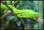 Green Mamba in front by Crank0
