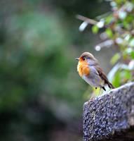 Robin 6 by andrzejsg