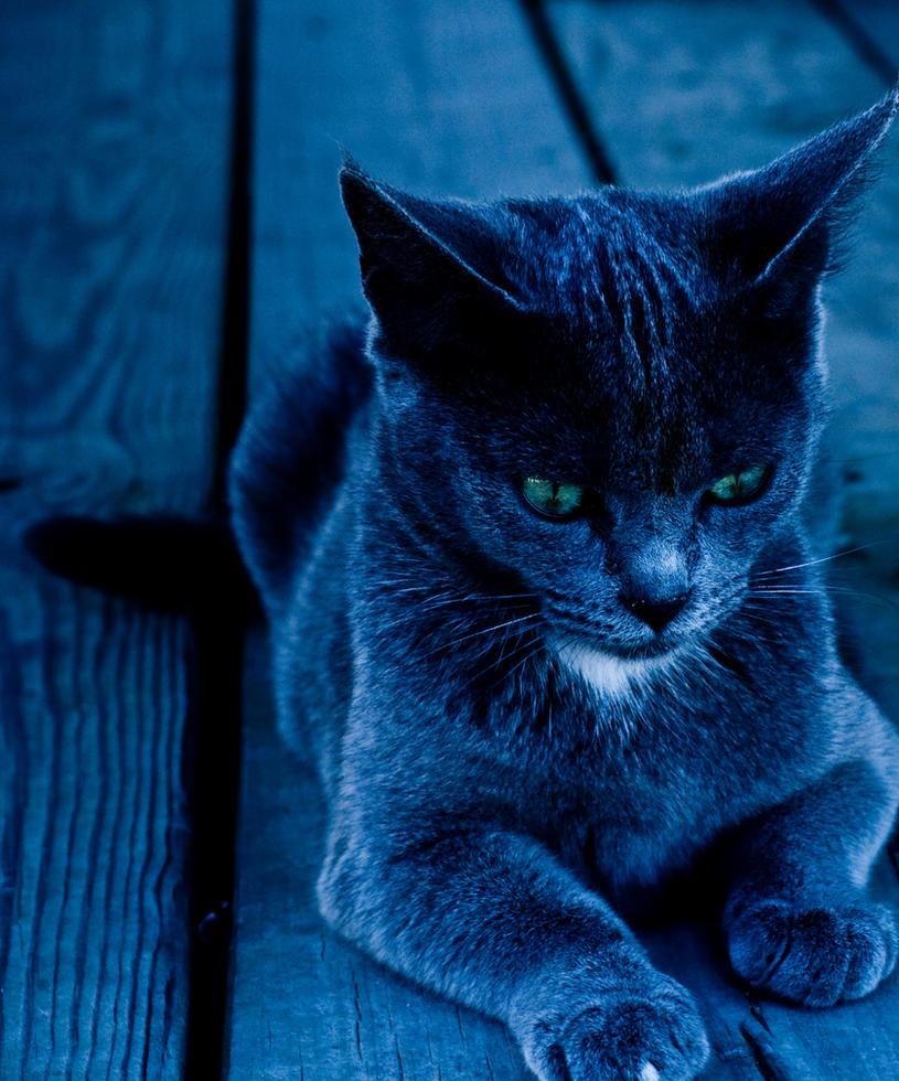 Light Grey Blue Eyes Cat