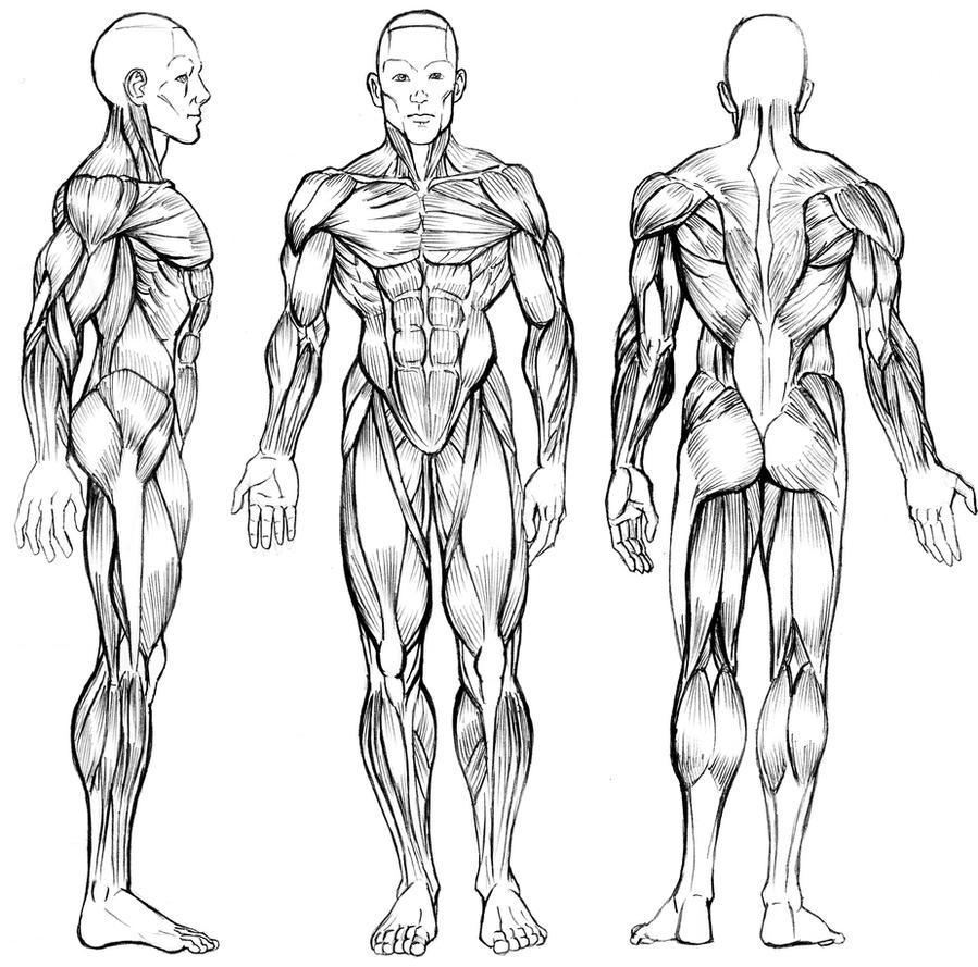 Drawing male anatomy