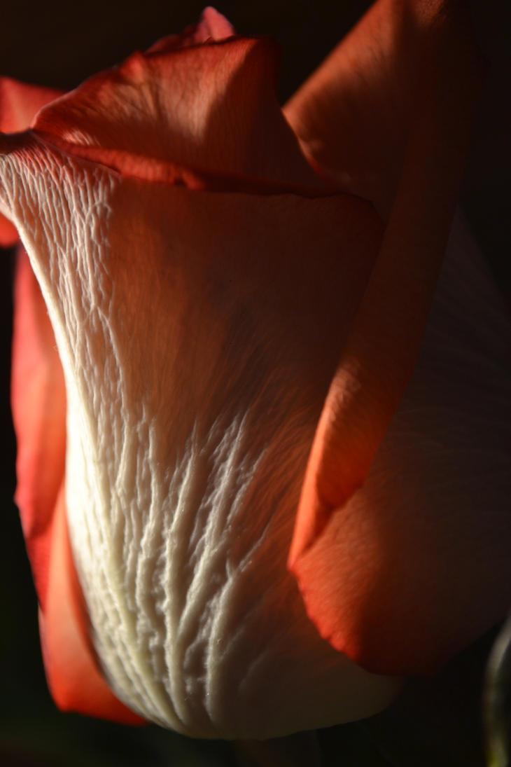 Veined Rose by GoldenDaffadowndilly